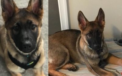 Tips on Training your Serve and Protect Breed